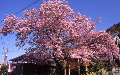 満開時の河津桜原木の写真