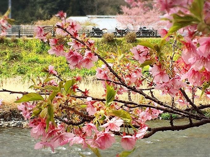 河津桜とVTR250、Z250